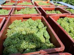 vendanges2017-champagne-montgueux-leroy-meirhaeghe